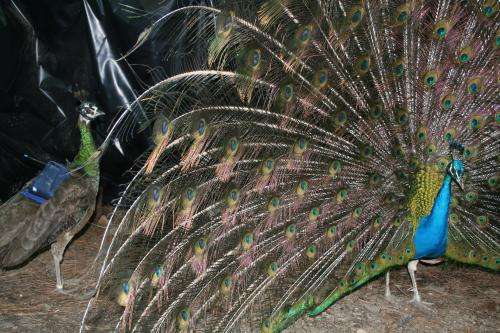 Expert says peacocks' legs, lower feathers and dance attract most attention during courtship