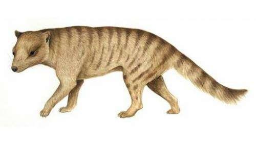 Extinct carnivorous marsupial may have hunted prey larger than itself