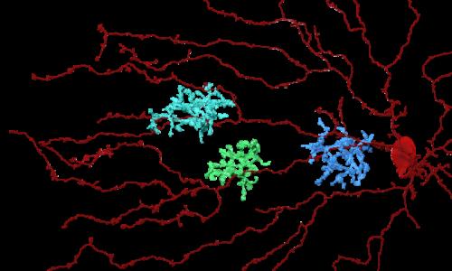 EyeWire gamers help researchers understand retina's motion detection wiring