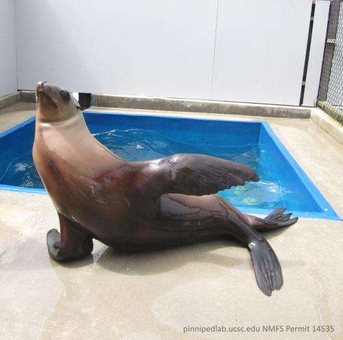 Beat-keeping sea lion shows surprising rhythmic ability