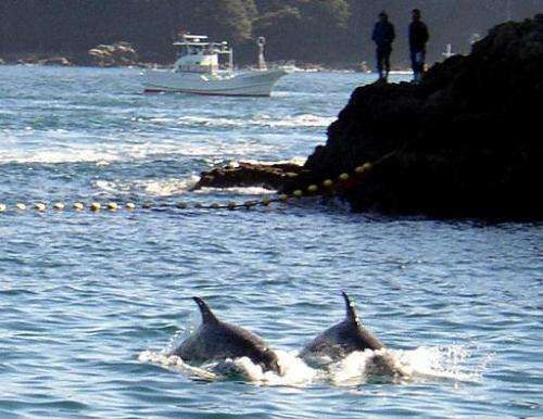 File phot shows two Risso's dolphins being herded by fishing boats near the village of Taiji, central Japan, on November 23, 200