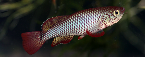 First detailed study of the otoliths of extant African annual killifish species