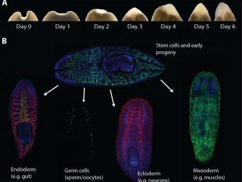 Flatworms, the masters of regeneration – but nothing can happen without stem cells