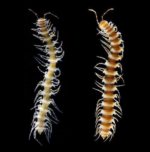 Four new dragon millipedes found in China