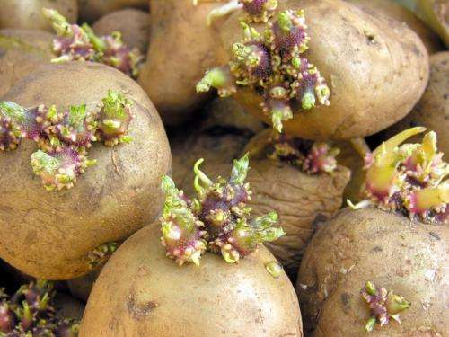 Gene responsible for cholesterol production could lead to potatoes with lower toxin levels