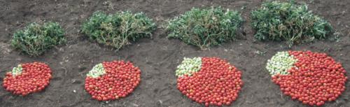 Sacar más provecho de la naturaleza: el conjunto de herramientas genéticas encuentra un nuevo máximo para el rendimiento de los cultivos