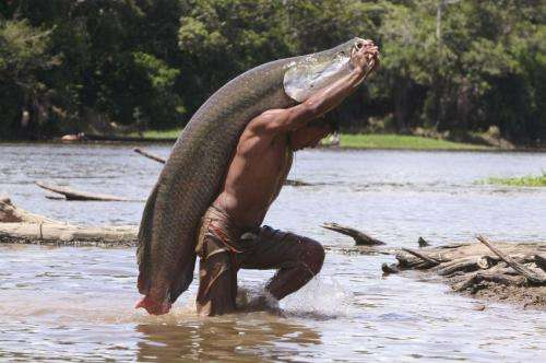 Giant Amazon fish becoming extinct in many fishing communities, saved in others