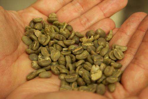 Green coffee benefits prove limited in mice research