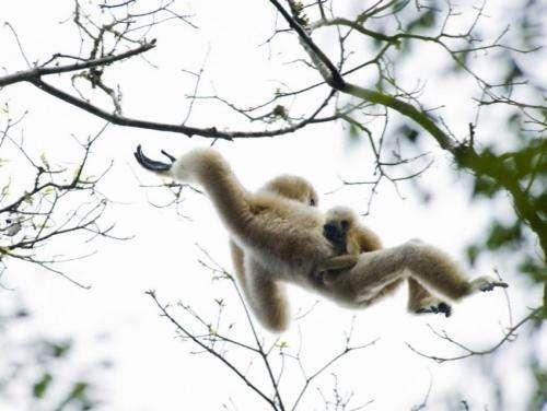 Gibbon genome sequence deepens understanding of primates rapid chromosomal rearrangements