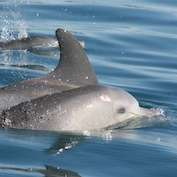 Health check for Swan River dolphins