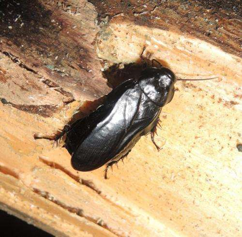 Hermit creepy crawlies: Two new taxa of wood-feeding cockroach from China