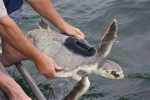 Hooked sea turtles heading back to the Gulf