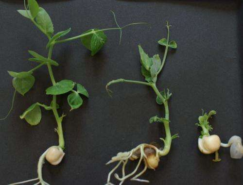 How steroid hormones enable plants to grow