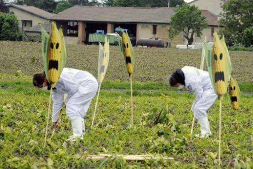 Hundreds of anti-GMO activists and Greenpeace activists uproot genetically modified maize plants, on May 2, 2014, in a field nea