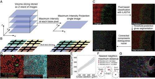Image processing, segmentation, cell area determination, and tracking