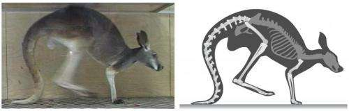 New study tells the tale of a kangaroo's tail