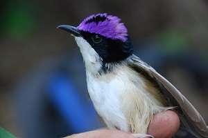 Kimberley wren distribution requires conservation tactic rethink