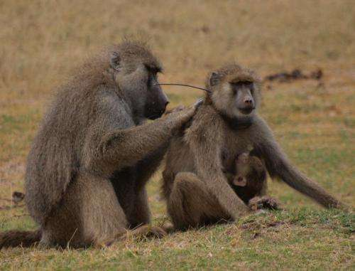 Lady baboons with guy pals live longer