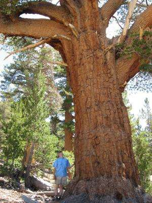 Oldest trees are growing faster, storing more carbon as they age, study reports