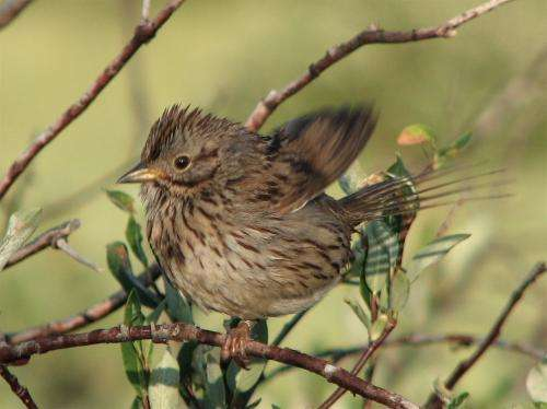 Male songbirds don't have to be studs to find a mate