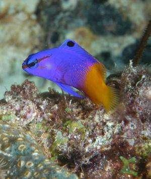 Lionfish characteristics make them more 'terminator' than predator