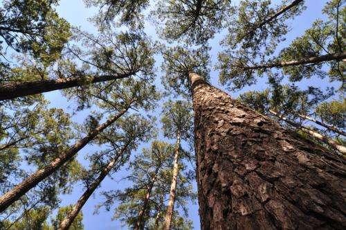 Loblolly pine's immense genome conquered