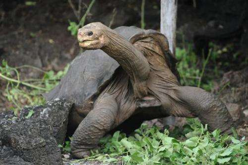 Lonesome George walks around Galapagos National Park's breeding center in Puerto Ayora, Santa Cruz island on April 19, 2012