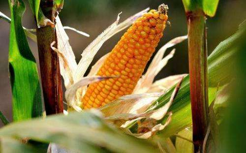 Maize in a cob in a field in Godewaersvelde, northern France on September 28, 2012