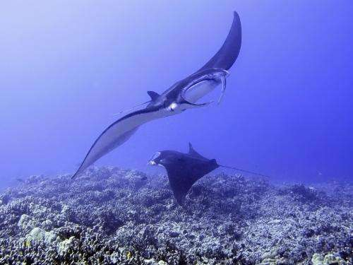 Mangroves prove favoured hangout for young rays