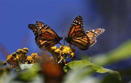 Mexico sees sign of hope for Monarch butterflies