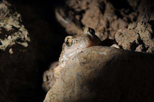 Micropredators dictate occurrence of deadly amphibian disease