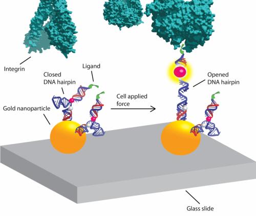 Molecular beacons shine light on how cells 'crawl'