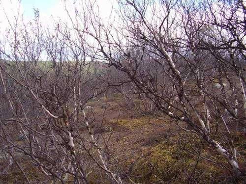 Moth invasions cause widespread damage in the sub-arctic birch forest