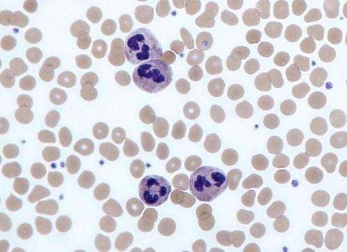 Neutrophil white blood cells (leukocytes)