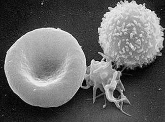 New blood: Tracing the beginnings of hematopoietic stem cells