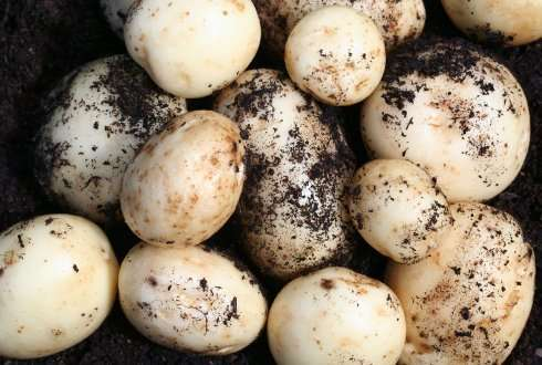 New button mushroom varieties need better protection
