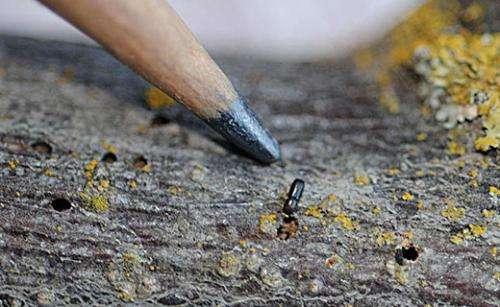 New findings on beetle flight may help control deadly walnut tree disease