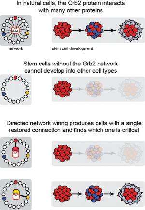New method reveals single protein interaction key to embryonic stem cell differentiation