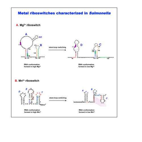 New RNA regulatory system found in salmonella