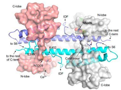 New study furthers development of drugs targeting potassium-ion channels
