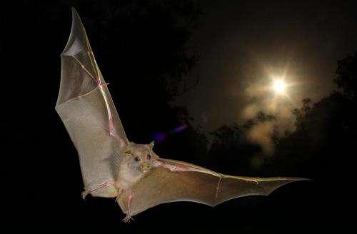 'Non-echolocating' fruit bats actually do echolocate, with wing clicks