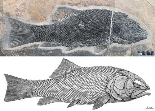 Oldest ionoscopiform fish found from the Middle Triassic of South China