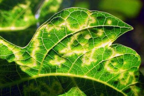 Mexican technology saves papaya production by detecting virus