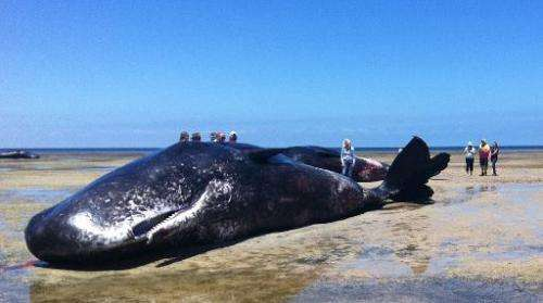 People stand around one of six sperm whales washed up dead in a rare mass stranding on the South Australia coast, December 8, 20