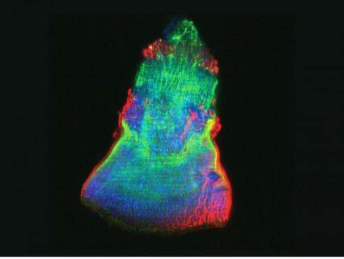 Planaria deploy an ancient gene expression program in the course of organ regeneration