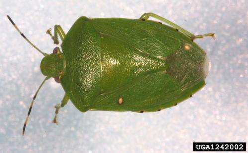 Planting cotton early may mean less stink bug damage