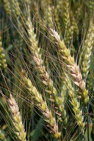 Plant pathologists help thwart vexing grain disease