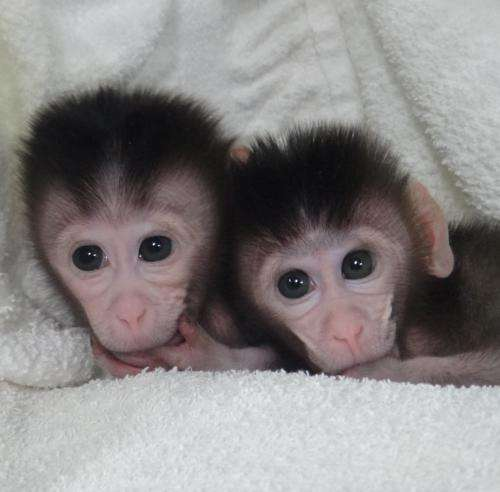 Precise gene editing in monkeys paves the way for valuable human disease models