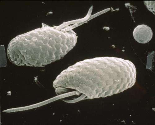 Quantum biology: Algae evolved to switch quantum coherence on and off