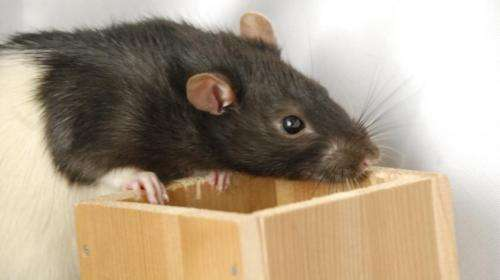 Rats purposefully use their whiskers in different ways to help navigate in the dark